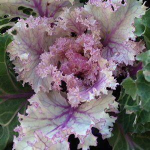 ornamental cabbage indoors how to grow ornamental kale nurseries online