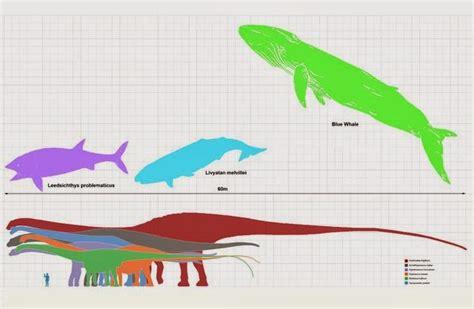 Blue Whale Diagram Bison Diagram Elsavadorla - whale bone diagram bird diagram elsavadorla