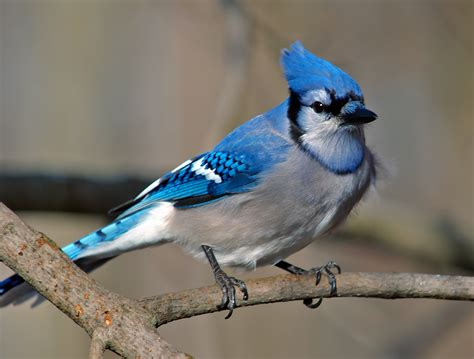 opinions on blue jay disambiguation