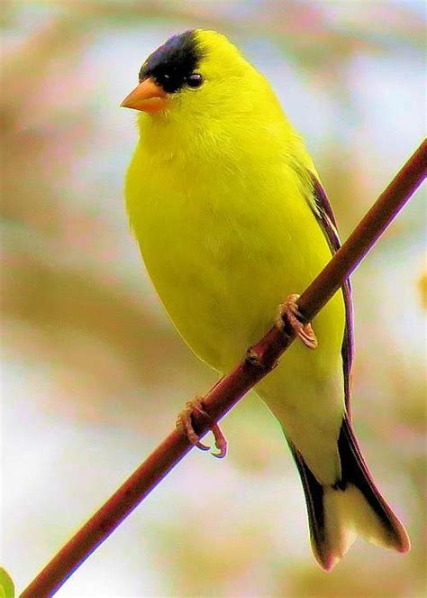 230 best gold finch images on pinterest beautiful birds