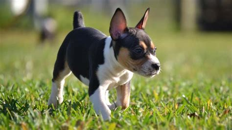 rat terrier price temperament life span