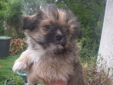 what does a shih tzu pomeranian look like what does a shih tzu yorkie mix look like breeds picture