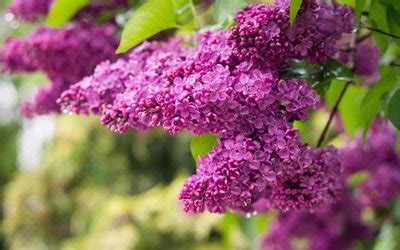 sfondi desktop gratis fiori primavera scarica sfondi lilla primavera fiori di primavera il