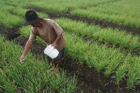 Harga Gunting Tanaman Krisbow by Harga Mahal Petani Tebas Padi Di Sawah Republika