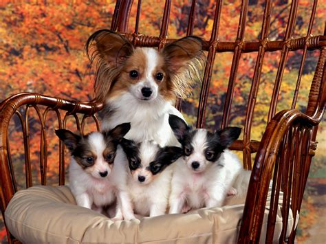 free chihuahua puppies chihuahua puppies puppies wallpaper 9726091 fanpop