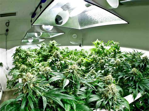 grow light   marijuana plants