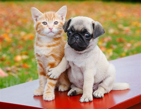 pugs and kittens pug puppies animal stock photos kimballstock