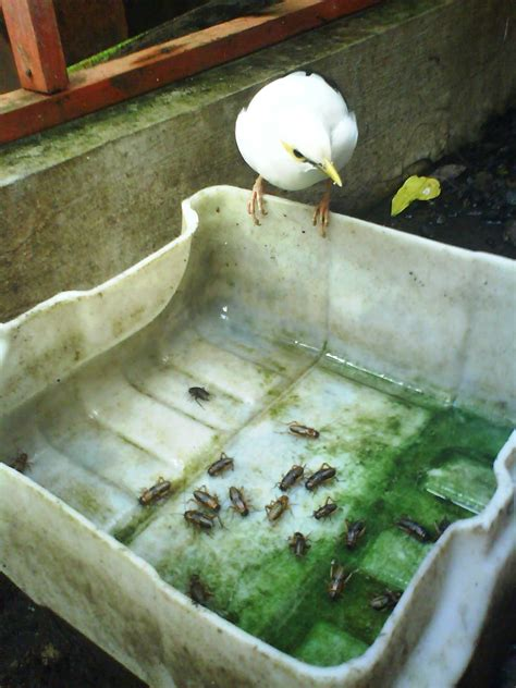 Tempat Jangkrik Pakan Burung kandang penangkaran jalak putih ud delanggu birdfarm