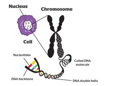 chromosome diagram labeled chromosomes sci advent day 23 quantum tunnel
