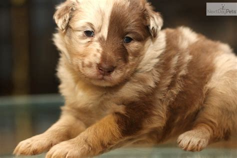 merle australian shepherd puppies australian shepherd puppy for sale near richmond virginia 35b204df 6f81