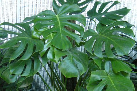 malattie piante appartamento giardinaggio le piante da appartamento