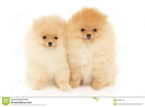pomeranian spitz puppies two pomeranian spitz puppies stock photo image 28899130