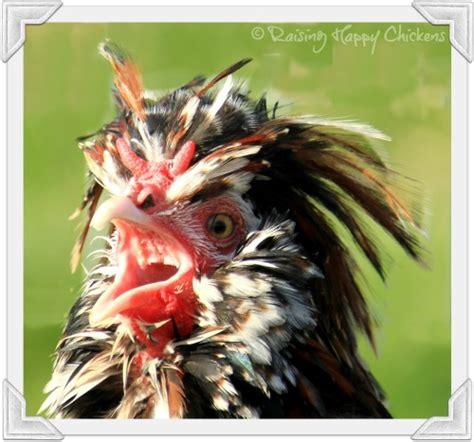 backyard chicken laws talentneeds