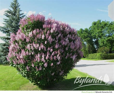 Most Fragrant Lavender Plants - minuet preston lilac syringa x prestoniae minuet bylands nurseries ltd