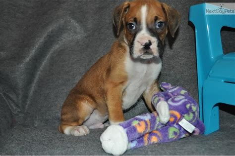 akc boxer puppies for sale near me spider boxer akc registered boxer puppy for sale near southeast missouri missouri