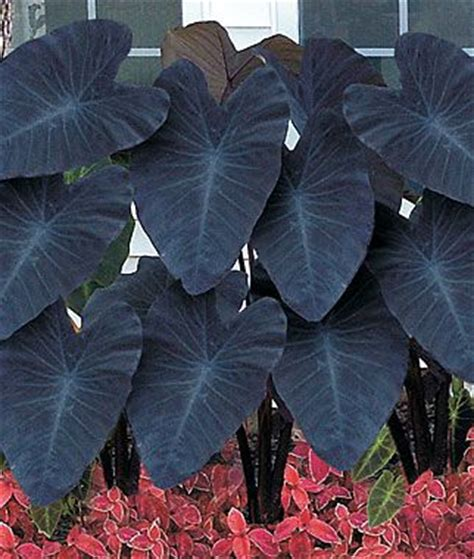 29 best images about coleus caladium colocasia on pinterest gardens sun and elephant ears