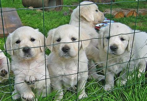 golden retriever breeders in ireland baby golden retriever puppies for adoption swords ireland free classifieds muamat
