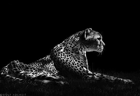 imagenes blanco y negro de animales fotograf 237 as de animales en blanco y negro maestros para
