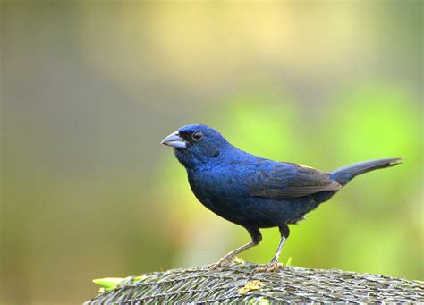 the jacarina finch a blue black beauty for the small