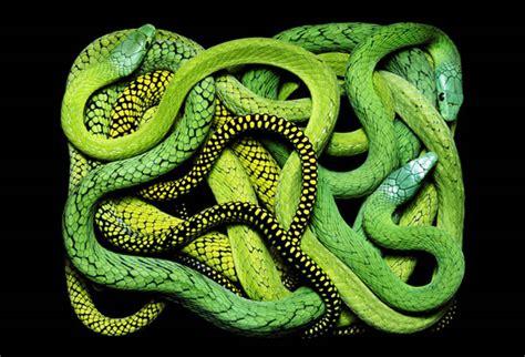 imagenes asombrosas de serpientes 191 que te parece un cuadro de serpientes para tu pared