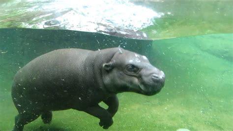 Baby Wear Hippo Swim pygmy hippo swimming