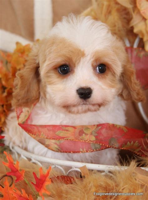 cavachon puppies for sale nc 24 best images about cavachon puppy on the family arches and manual