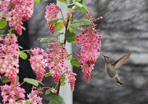 fragrant winter flowering shrubs fragrant blooming plants in late winter sfgate