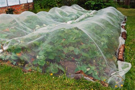 Gardening Net Protecting Strawberries From Birds Bonnie Plants