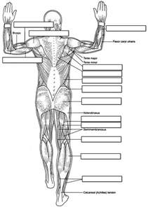 human muscles coloring muscular system human back coloring page coloring home