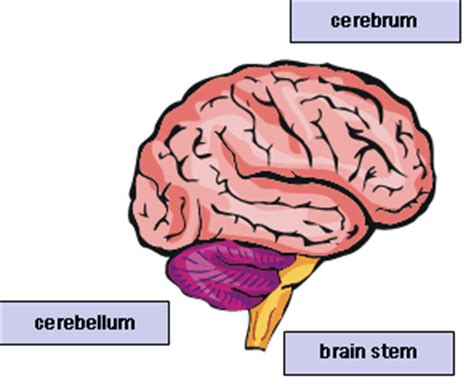 three main sections of the brain the brain fine fitness
