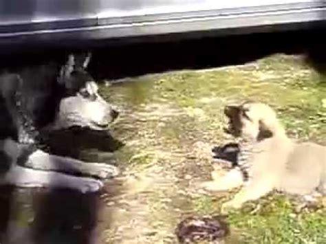 Huskies Turkis puppy turkish kangal vs husky dogs mp4
