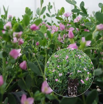 piante mediterranee da vaso vivai de nicolo terlizzi vivai de nicolo piante