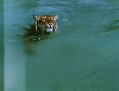 gif format on twitter tiger swimming gif find share on giphy