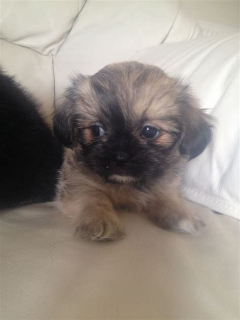shih tzu chihuahua shichi breed information and pictures