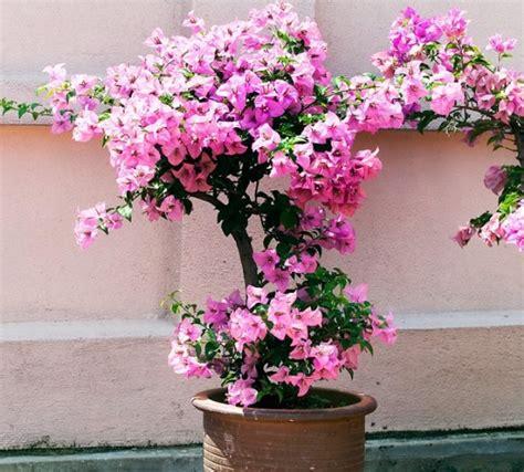 cara membuat bunga kertas menjadi bonsai cara stek bunga kertas bougenville bibitbunga com
