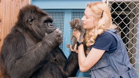 Koko Ravel koko the gorilla who knew sign language dies at 46