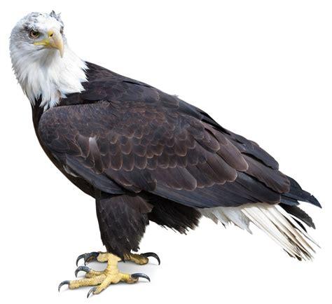 google images eagle search eagle eagle google search eagles pinterest bald