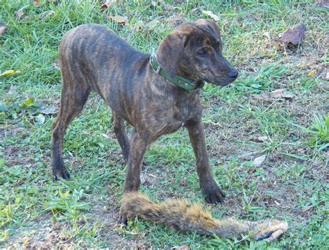 brindle puppies treeing tennessee brindle breed standards