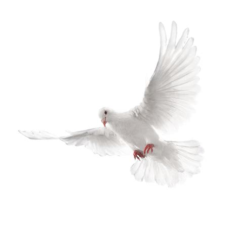 download white flying pigeon png image hq png image