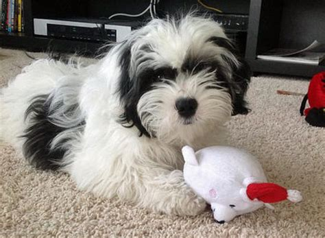 black shih tzu mix bea tzu beagle shih tzu mix info temperament puppies pictures