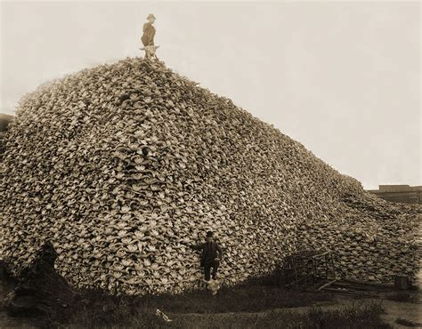 Pile Search File Bison Skull Pile Restored Jpg Wikimedia Commons