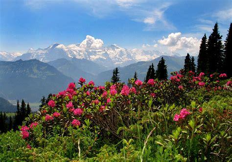 Flowers Marigold - the spectacular region of beatenberg berner oberland