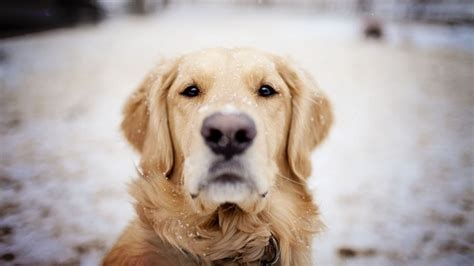 top golden retriever names golden retriever names list images