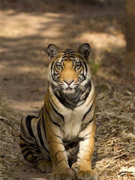 what s your name tigris bengal tiger panthera tigris tigris bandhavgarh national