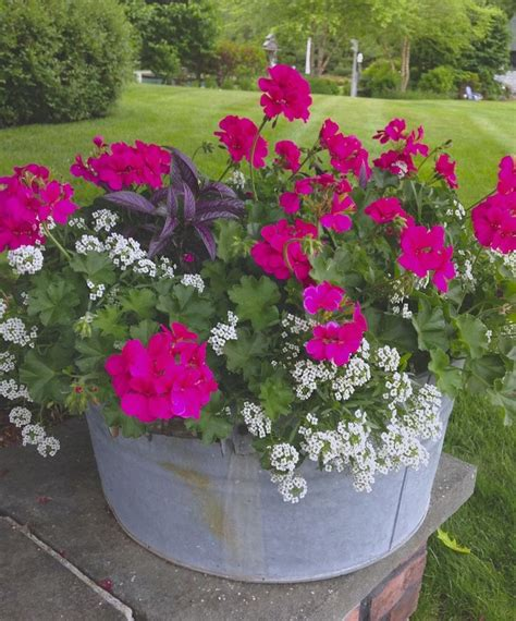 17 best images about karens container gardening on pinterest window boxes mosquito repelling