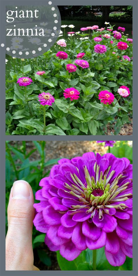Best Flowers For Cutting Garden Best Flowers For All Summer Color Lots Of Blooms Great For Cutting Easy To Start