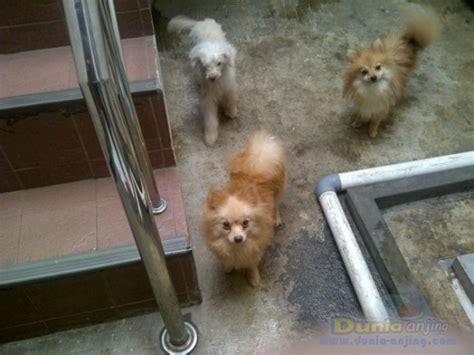 Anjing Pom Betina Dewasa dunia anjing jual anjing pomeranian 4 ekor pom betina