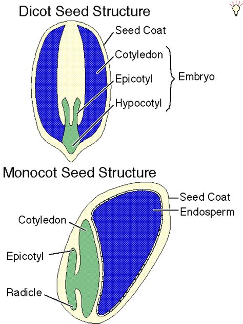 diagram of monocot seed seeds and seed germination