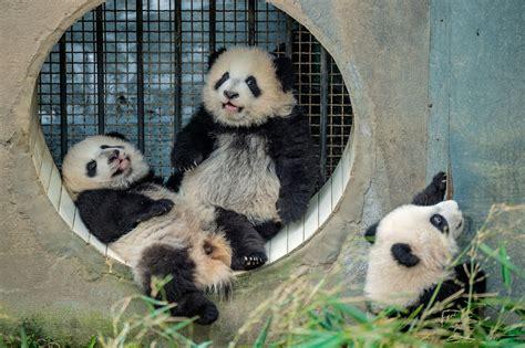 fotos de grupo panda osos panda regreso a la libertad en china