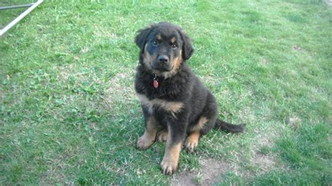german rottweiler puppy german rottweiler puppy mansfield nottinghamshire pets4homes